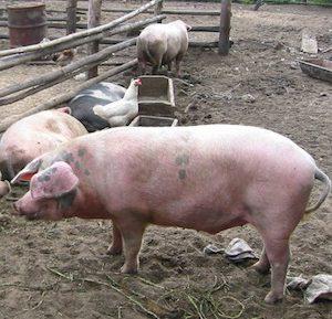 belarus_pigs2_1.jpg